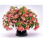 C8530P Begonia x hybrida Funky® Light Pink NEW