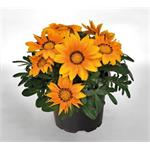 M4220 Gazania rigens Zany Orange NEW