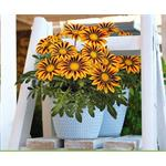 M4240 Gazania rigens Zany Orange Flame NEW