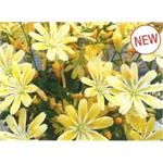 37503 Lewisia Elisa Golden Yellow (288)