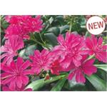 37505 Lewisia Elisa Ruby Red (288)
