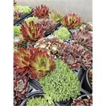Sempervivum 4 pack